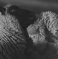 Ewe Talk A by Arlette Seib