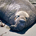 Exhausted Elephant Seal by YJ Kostal