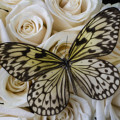 Exotic Butterfly On White Roses by Garry Gay