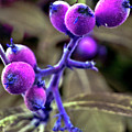 Exotic Purple Fruits by Silva Wischeropp