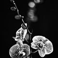 Exotic Orchid Bw by Alex Art and Photo