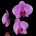 Exotic Orchids by TN Fairey