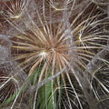 Experience The Dandelion by Marie Neder