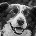 Expression Of A Border Collie by Marco Siori