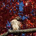 Expressive Hawk by Karol Livote