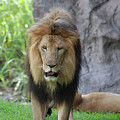 Expressive Male Lion Prowling Around In Nature by DejaVu Designs
