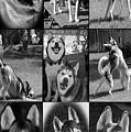 Expressive Siberian Huskies Collage C4517 by Mas Art Studio