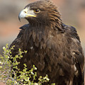 Eye Of The Golden Eagle by Sandra Bronstein