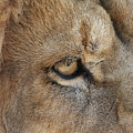 Eye Of The Lion #2 by Judy Whitton