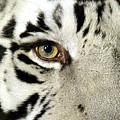 Eye Of The Tiger by Nadalyn Larsen