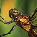 Eye To Eye Dragonfly by Mitch Shindelbower