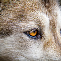 Eyes Of The Gray Wolf by Teri Virbickis