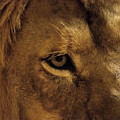 Eyes Of The Lion Color by Matt Steffen