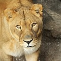 Eyes Of The Lioness by Christopher Miles Carter