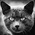 Eyes On You Cat Black And White Square by Terry DeLuco