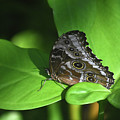 Eyespots On The Closed Wings Of A Blue Morpho Butterfly by DejaVu Designs