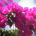 F15 Bougainvilleas Flowers by Donald k Hall