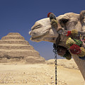 Face Of A Camel In Front Of A Pyramid by Richard Nowitz