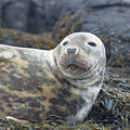 Face Of A Gray Seal by DejaVu Designs