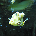 Face Of A Horned Boxfish Swimming Underwater by DejaVu Designs