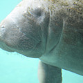 Face Of A Manatee Swimming Underwater by DejaVu Designs
