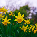Daffodils Sky by Alex Art and Photo