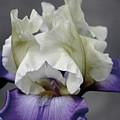Faded Iris 6622 H_9 by Steven Ward