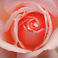 Faded - Perfect Pink Rose by Philip Openshaw