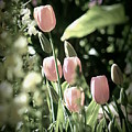 Faded Tulips by Kimberly-Ann Talbert