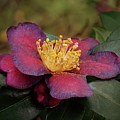 Fading Camellia by Isabela and Skender Cocoli