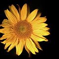 Fading Sunflower by Philip Rodgers
