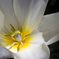 Fading Tulip by Cathy Dixson