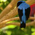 Fairy Bluebird Male Digital Oil  by Chris Flees