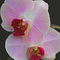Fairy Blush Orchids by Tammy Pool