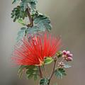 Fairy Duster-img_488917 by Rosemary Woods-Desert Rose Images