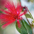 Fairy Duster by Susie Weaver