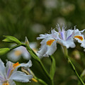 Fairy Iris 2 by Judy Vincent