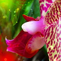 Fairy Orchid by Cindy Greenstein