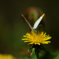 Falcate Orangetip Butterfly On Dandelion by Rebecca Sherman
