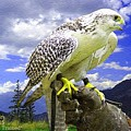 Falcon Being Trained H A by Gert J Rheeders
