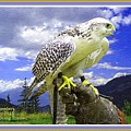 Falcon Being Trained H A With Decorative Ornate Printed Frame. by Gert J Rheeders