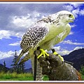 Falcon Being Trained H B With Decorative Ornate Printed Frame. by Gert J Rheeders