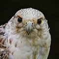 Falcon Close Up by Mitch Shindelbower