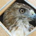 Falcon by Tatiana Ashalintubbi