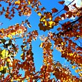 Fall Apricot Leaves by Will Borden