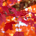 Fall Art Red Autumn Leaves Orange Fall Trees Baslee Troutman by Baslee Troutman