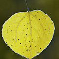 Fall Aspen Leaf by Gary Langley