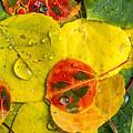 Fall Aspen Tree Leaves  by Teri Virbickis