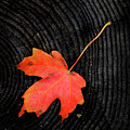 Fall Autumn Leaf On Old Weathered Wood Stump From A Tree by Lane Erickson