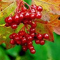 Fall Berries by Michael Peychich